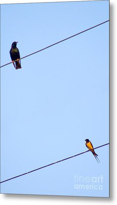 Starling And Swallow Metal Print by Tim Holt