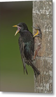 Starling And Young Metal Print by Anthony Mercieca