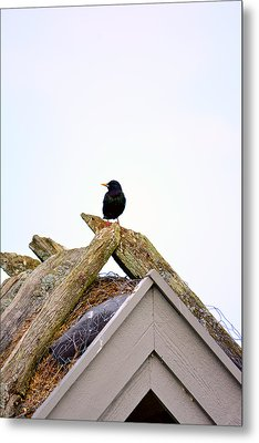 Starling On Old House Metal Print by Tommytechno Sweden