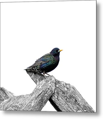Starling On Roof Metal Print by Tommytechno Sweden