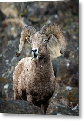Metal Print featuring the photograph Startled Ram by Steve McKinzie