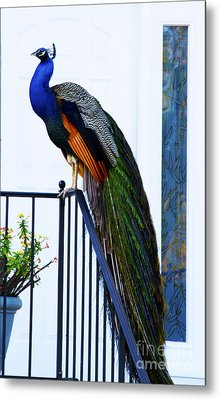 Stately Peacock Metal Print by Joan McArthur