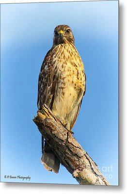 Stately Red-shouldered Hawk Metal Print by Barbara Bowen