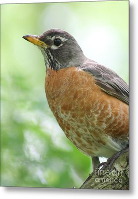 Metal Print featuring the photograph Stately Robin by Anita Oakley