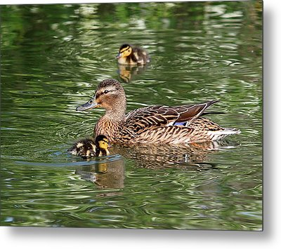 Staying Close To Mom Metal Print by Gill Billington