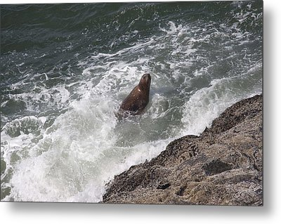 Steller Sea Lion - 0018 Metal Print