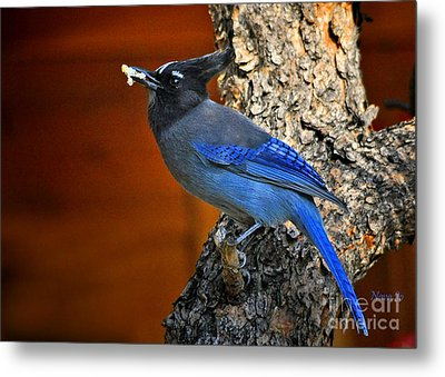 Steller's Jay In Colorado Metal Print by Nava Thompson