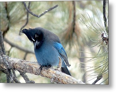 Steller's Jay Looking Down Metal Print