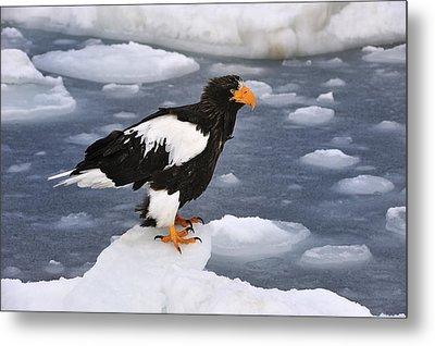 Stellers Sea Eagle On Ice Hokkaido Japan Metal Print by Thomas Marent