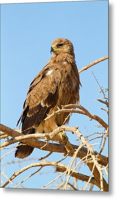 Steppe Eagle (aquila Nipalensis) Metal Print by Photostock-israel