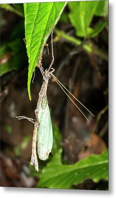Stick Insect Ecdysis Metal Print by Dr Morley Read