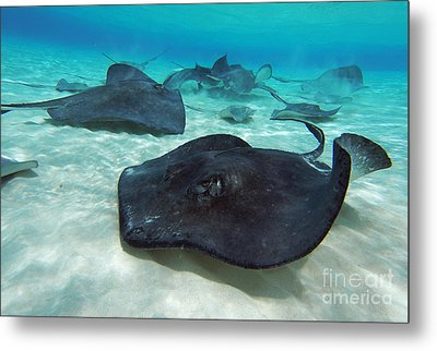 Stingrays Metal Print by Carey Chen