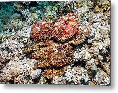 Stonefish Mating Congregation Metal Print by Georgette Douwma