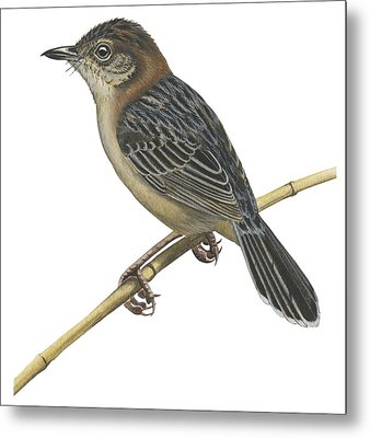 Stout Cisticola Metal Print by Anonymous