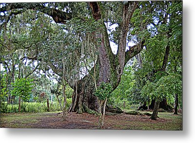Metal Print featuring the photograph Strawberry Chapel Oak by Linda Brown