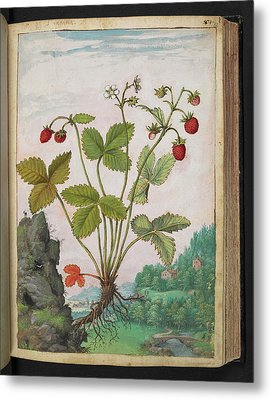 Strawberry (fragaria Sp.) Metal Print by British Library