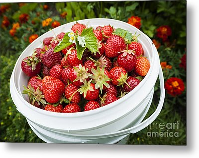 Strawberry Harvest Metal Print
