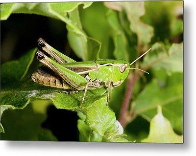 Stripe-winged Grasshopper Metal Print