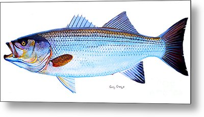 Striped Bass Metal Print by Carey Chen