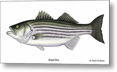 Striped Bass Metal Print by Charles Harden