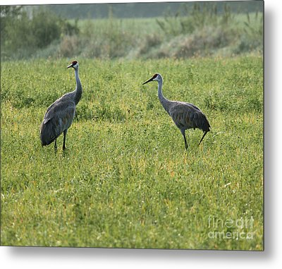 Metal Print featuring the photograph Strolling Cranes by Debbie Hart