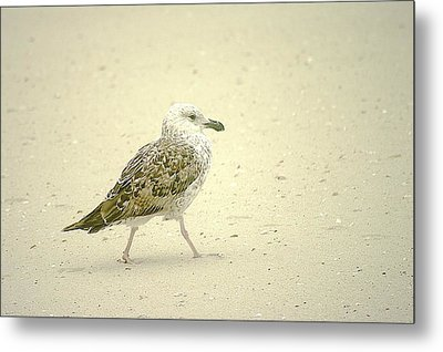 Metal Print featuring the photograph Strutting Young Seagull  by Suzanne Powers