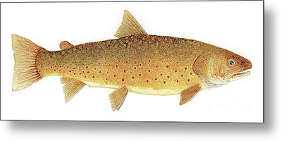 Study Of A Bull Trout Metal Print by Thom Glace
