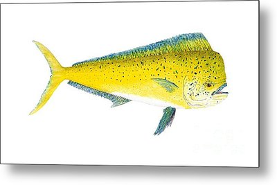 Study Of A Mahi Mahi Metal Print by Thom Glace