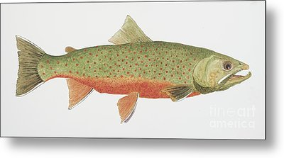 Study Of A Male Dolly Varden Char Metal Print by Thom Glace