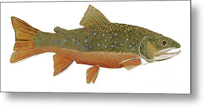Study Of An Wild Eastern Brook Trout  Metal Print by Thom Glace