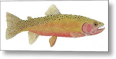 Study Of The Greenback Cutthroat Metal Print