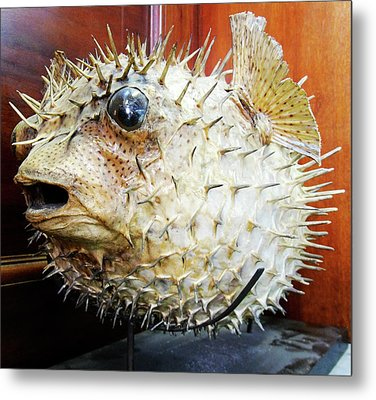 Stuffed Porcupinefish Metal Print