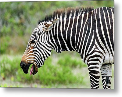 Submissive Cape Mountain Zebra Metal Print