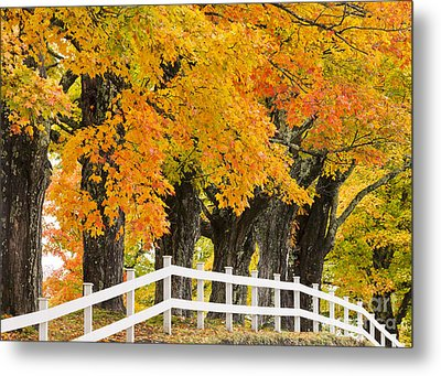 Sugar Maple Color Metal Print by Alan L Graham