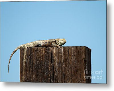 Sulky Lizard Metal Print by Martha Marks