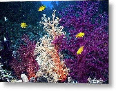 Sulphur Damsels On A Reef Metal Print by Georgette Douwma