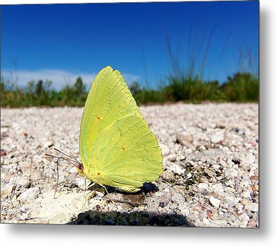 Metal Print featuring the photograph Sulphur Yellow Butterfly by Chris Mercer