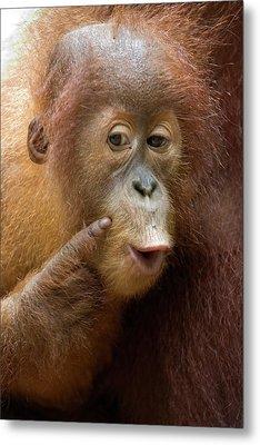 Sumatran Orangutan Baby Calling Metal Print by Suzi Eszterhas
