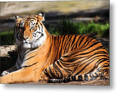 Sumatran Tiger 5d27142 Metal Print by Wingsdomain Art and Photography