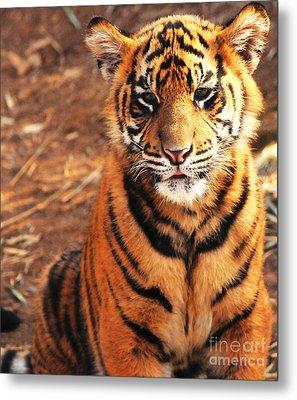 Sumatran Tiger Cub Metal Print by Olivia Hardwicke
