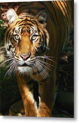 Sumatran Tiger Emerges Metal Print by Margaret Saheed