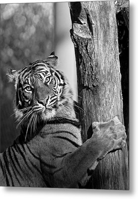 Metal Print featuring the photograph Sumatran Tiger by Gary Neiss