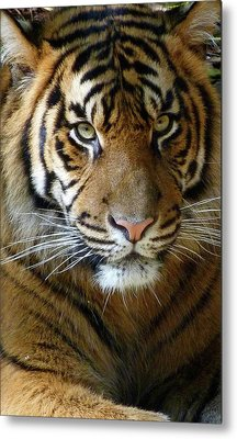 Sumatran Tiger Junior Metal Print