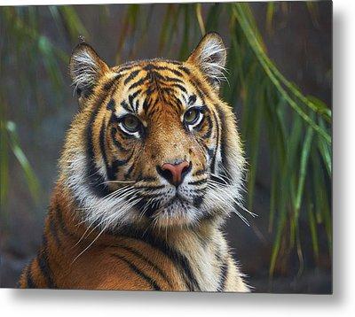 Sumatran Tiger Metal Print by Martin Willis