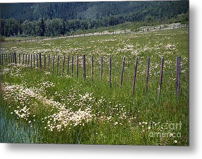 Metal Print featuring the photograph Summer Daises by Arthaven Studios