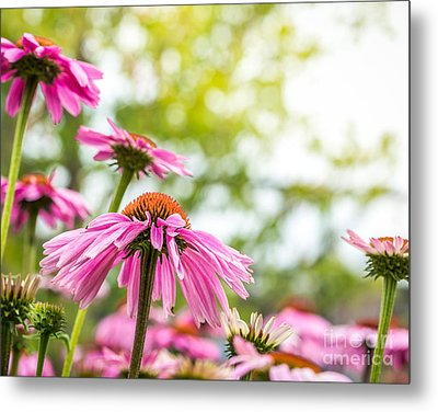 Summer Pink 1 Metal Print by Susan Cole Kelly Impressions