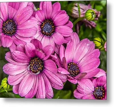 Summer Pink 3 Metal Print by Susan Cole Kelly Impressions
