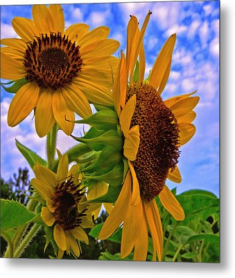 Metal Print featuring the photograph Summer Suns by John Harding