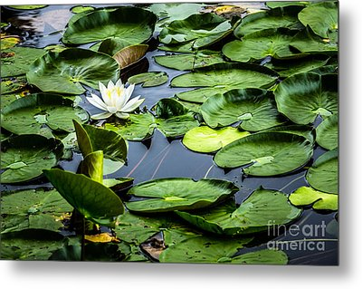 Summer Water Lily 1 Metal Print by Susan Cole Kelly Impressions