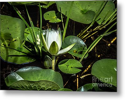 Summer Water Lily 2 Metal Print by Susan Cole Kelly Impressions